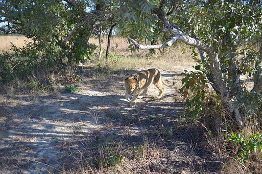 Lion, Prowl, Bush, Animal, Africa, Wildlife