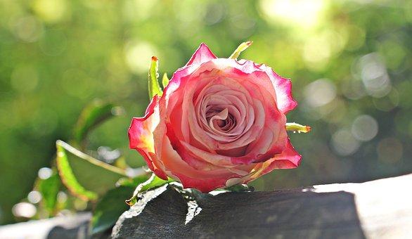 Rose, Culture Rose, Floribunda, Pink, White, Pink White