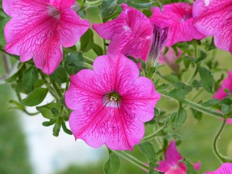 Flowers, Surfinie, Fuxia