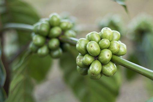 Coffee, Coffee Beans, Gayo Coffee, Green Coffee