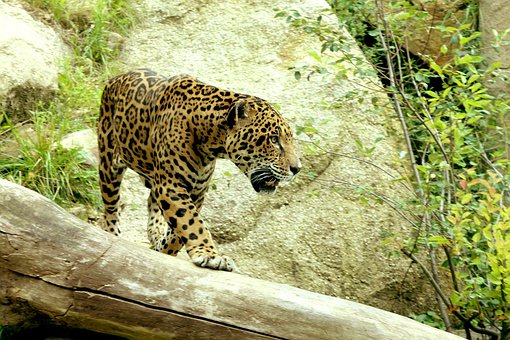 Jaguar, Big Cat, Prowl, Stalk, Carnivore, Hunt, Animal