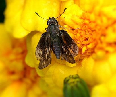 Skipper Butterfly, Hesperiidae, Insect, Pest, Wing