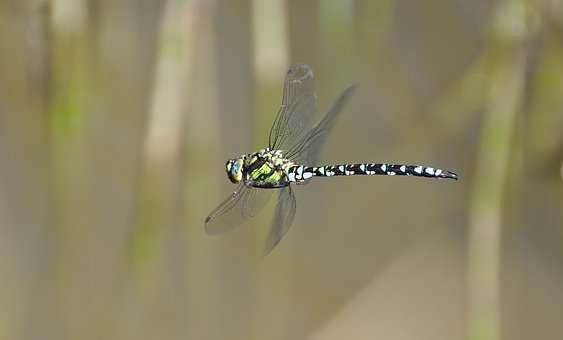 Insect, Dragonfly, Parthenope, Dragonfly In Flight