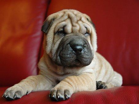 Dog, Puppy, Sharpei, Petit, Animal