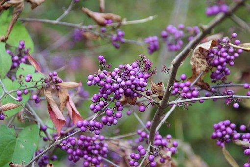 Berries, Violet, Fruits, Bush, Plant, Lilac, Purple