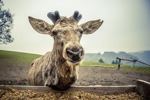 Wild, Red Deer, English Deer, Nature, Wildlife Park