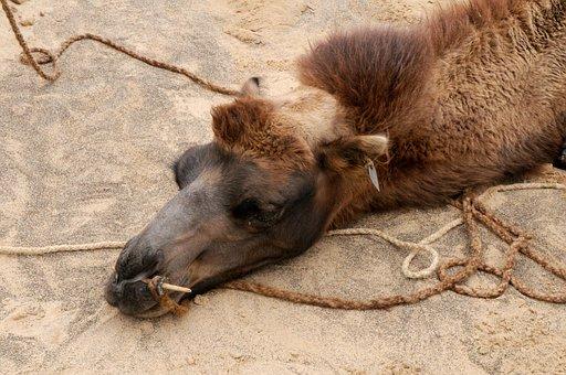 Camel, Impoverished, Tired, Break, Rest