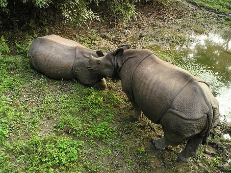 Rhino, Nepal, National Park, Chitwan
