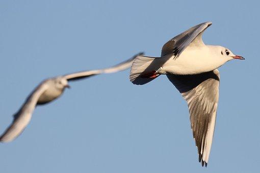 Seagull, Flight Manoeuvre, Flight