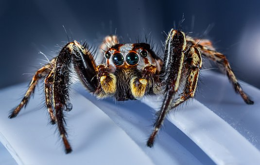 Jumping Spider, Small Spider, Spider, Insect, Close Up