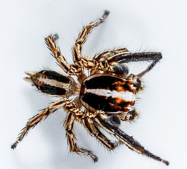 Jumping Spider, Small Spider, Spider, Insect, Close