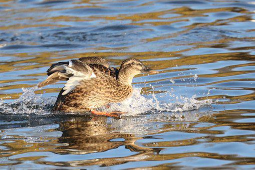 Duck, Waterlanding, Water, Waterbird, Bird, Lake