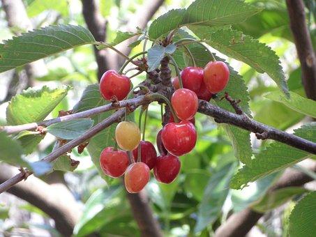 Cherries, Immature, White Cheeks, Cherry Tree, Fruits