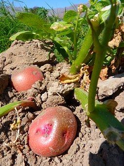 Potatoes, Cultivation, Agriculture, Potato, Cusoi, Peru
