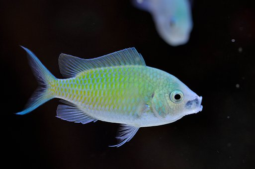 Chromis, Viridis, Marine, Aquarium, Fish