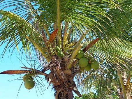 Coconut Tree, Coco, Green, Beach