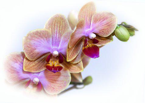 Phalaenopsis, Orchid, Blossom, Bloom, Exotic, Tropical