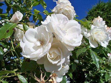 Iceberg Rose, Flowers, White Rose, Close, Close-up