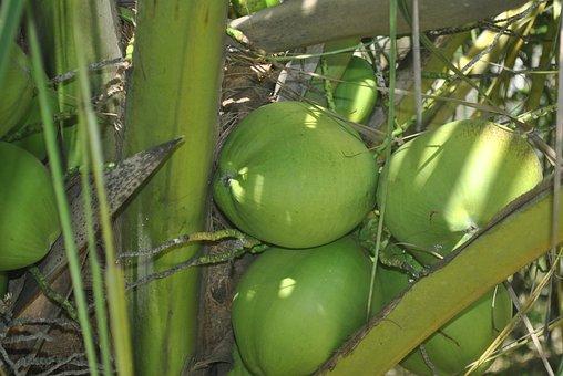Green Coconut, Coco, Coconut Tree, Coconut Trees