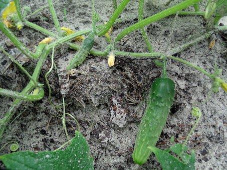 Cucumbers, Food, Organic, Farming, Gardening
