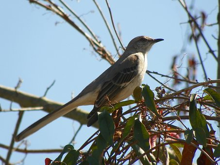 Mockingbird, Bird, Animal, Feather, Flying, Standing