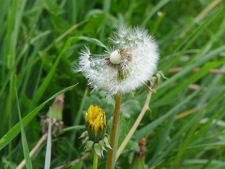 Dandelion Clock, Spring, Dandelion, Plant, Flower, Seed