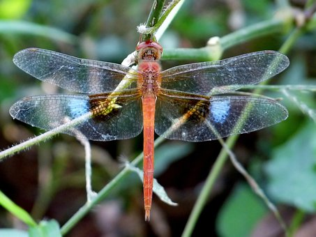 Coral-tailed Cloudwing, Dragonfly, Insect, Beautiful