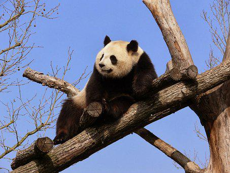 Little Panda, Rest, Branches