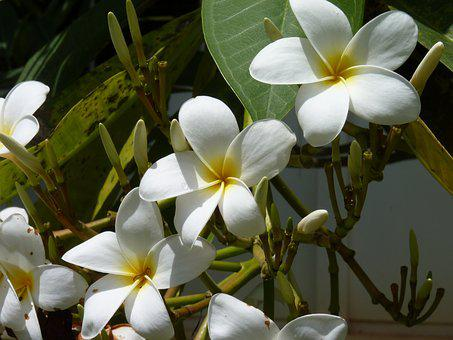 Frangipani, May Flower, White Flower, Exotic, Hawaiian