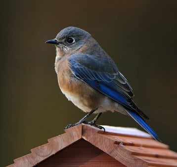 Bluebird, Eastern Bluebird, Bird, Nature, Wildlife