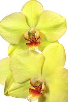 Orchid, Phalaenopsis, Exotic, Yellow, Red, Orange