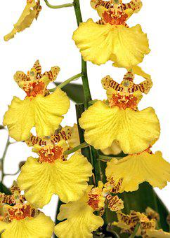 Oncidium, Orchid, Yellow, Orange, Orchid Blossom