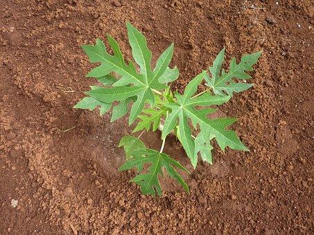 Seedling, Papaya, Papaya Leaves