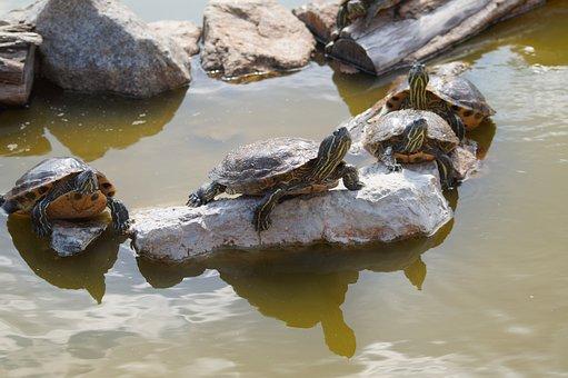 Turtle, Group, Water, Pond, Anilmals, Stones, Sun
