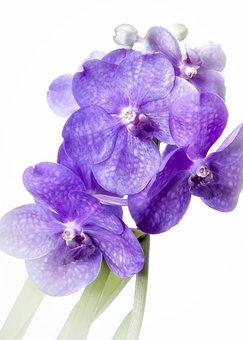 Vanda, Purple, Vingette, Orchid, Rarely, Tropics