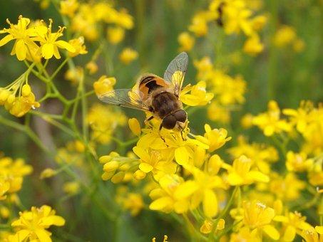Fly, Tenax, Eristalis, Insect, Animal, Entomology