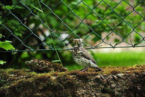 Baby Bird, Bird, Thrush Young, Thrush