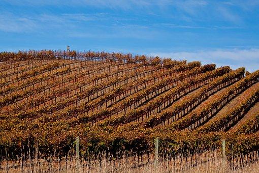 Vineyard In Sonoma, Vineyard, Sonoma, California