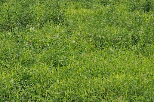 Green Grass, Grassland, Weeds, Setaria Viridis, Green