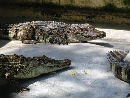Crocodiles, Reptiles, Lies, Sun, Journey, Zoo