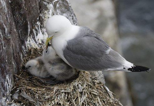 Bird's Nest, Bird, Chicks, Animals, Farne Islands