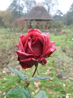 Rose, Arboretum, Botanical Szeged, Szeged Hungary