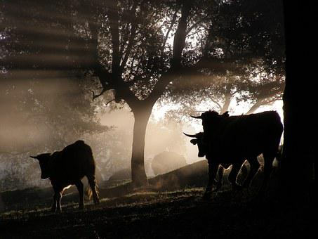 Bulls, Forest, Animals, Horns, Nature, Livestock