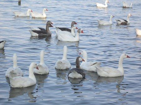 Ducks, Flock, Nature