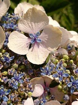 Hydrangea, Garden, Summer, Nature, Flower, Blossom