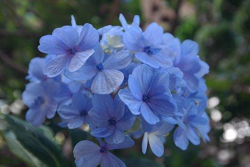Garden, Hornamental Plant, Lilaz, Blue, Flower