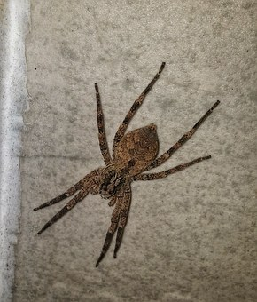 Fishing Spider, Insect, Predator