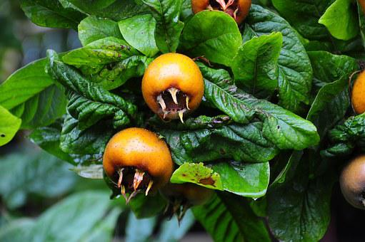 Medlar, Fruit, Tree, Edible, Leaves