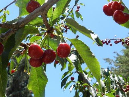 Cherries, Sky, Leona Valley, Cherry, Tree, Spring