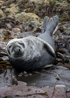 Seal, Animal, Mammal, Marine, Wildlife, Farne Islands